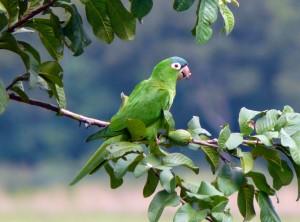 Papoušek na stromě v Březině